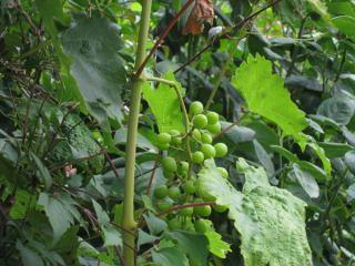 Weintrauben-Nachzügler