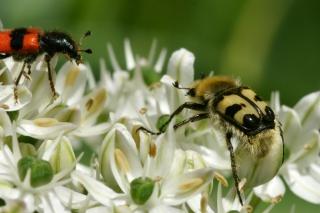 Gebänderter Pinselkäfer & Gemeiner Bienenkäfer