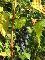Weintrauben am 2. November