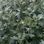 die ersten Chrysanthemen-Knospen - kommt mir irgendwie etwas früh vor...