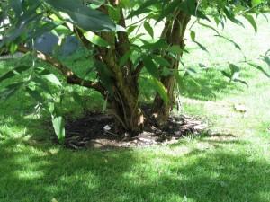 Baumscheibe - nicht ausgegrenzt, perfekt gepflegt