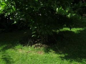Baumscheibe - (noch) ausgegrenzt, am Rand wachsen die Grasbüschel